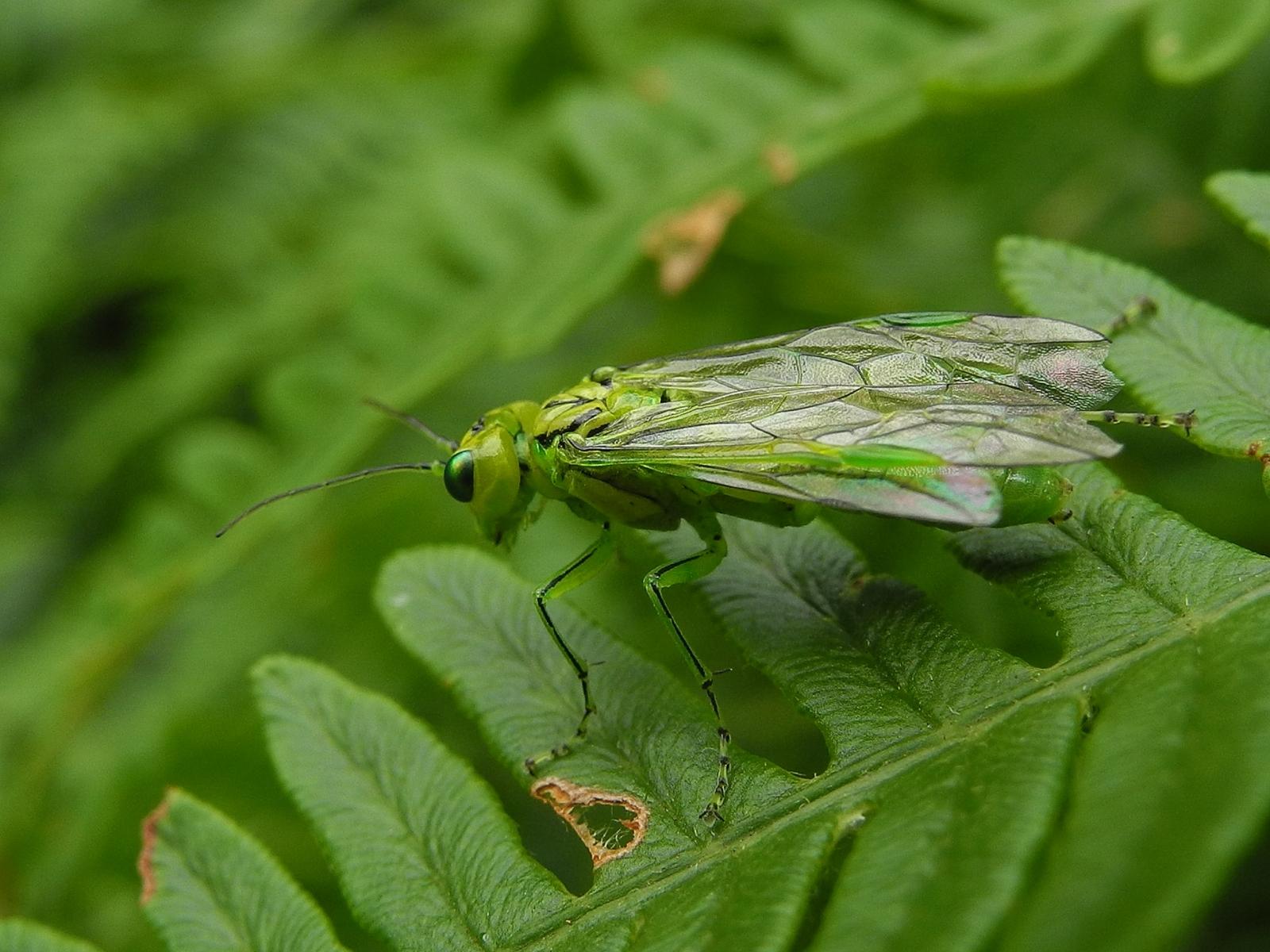 Rhogogaster viridis, Clumber Park