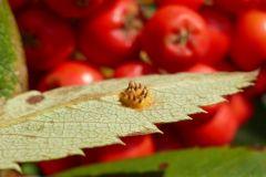 Gymnosporangium cornutum on Rowan leaf.