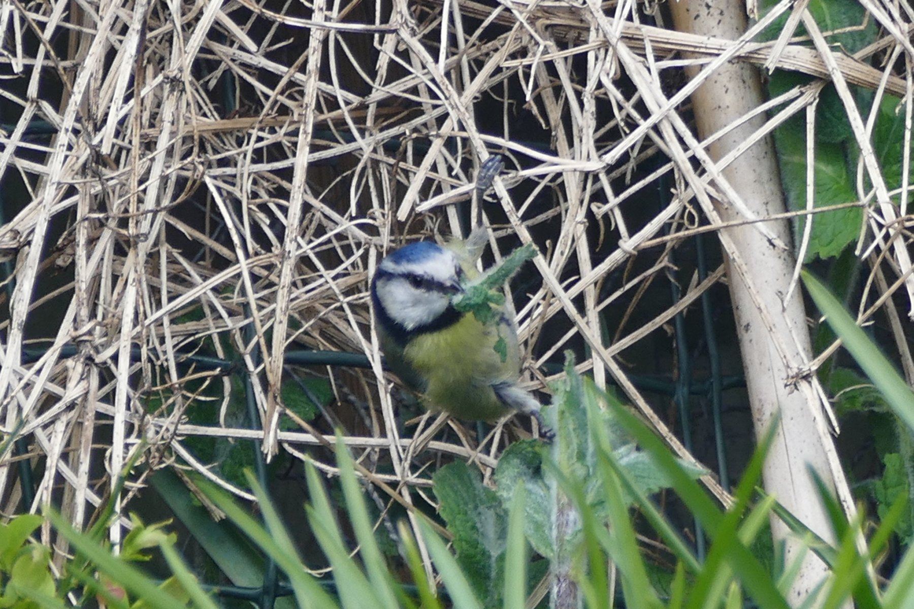 Blue Tit behavour