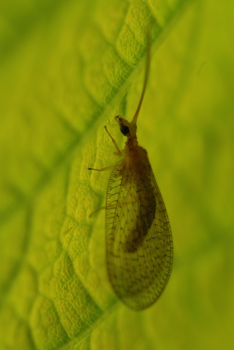 Hemerobius sp. - Brown Lacewing, Anston Stones Wood