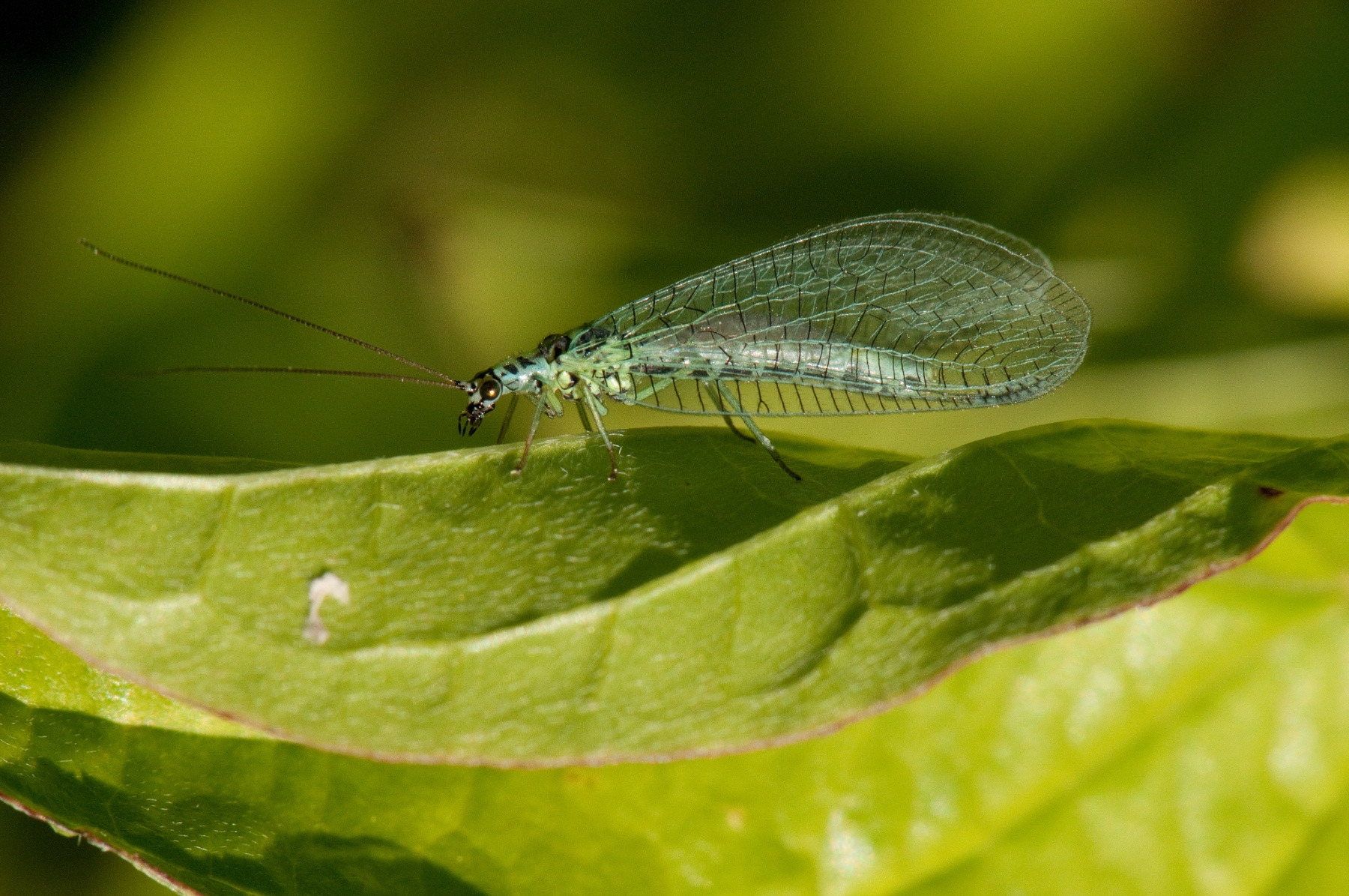 Chrysopa sp. - Green Lacewing, North Anston Pit Tip