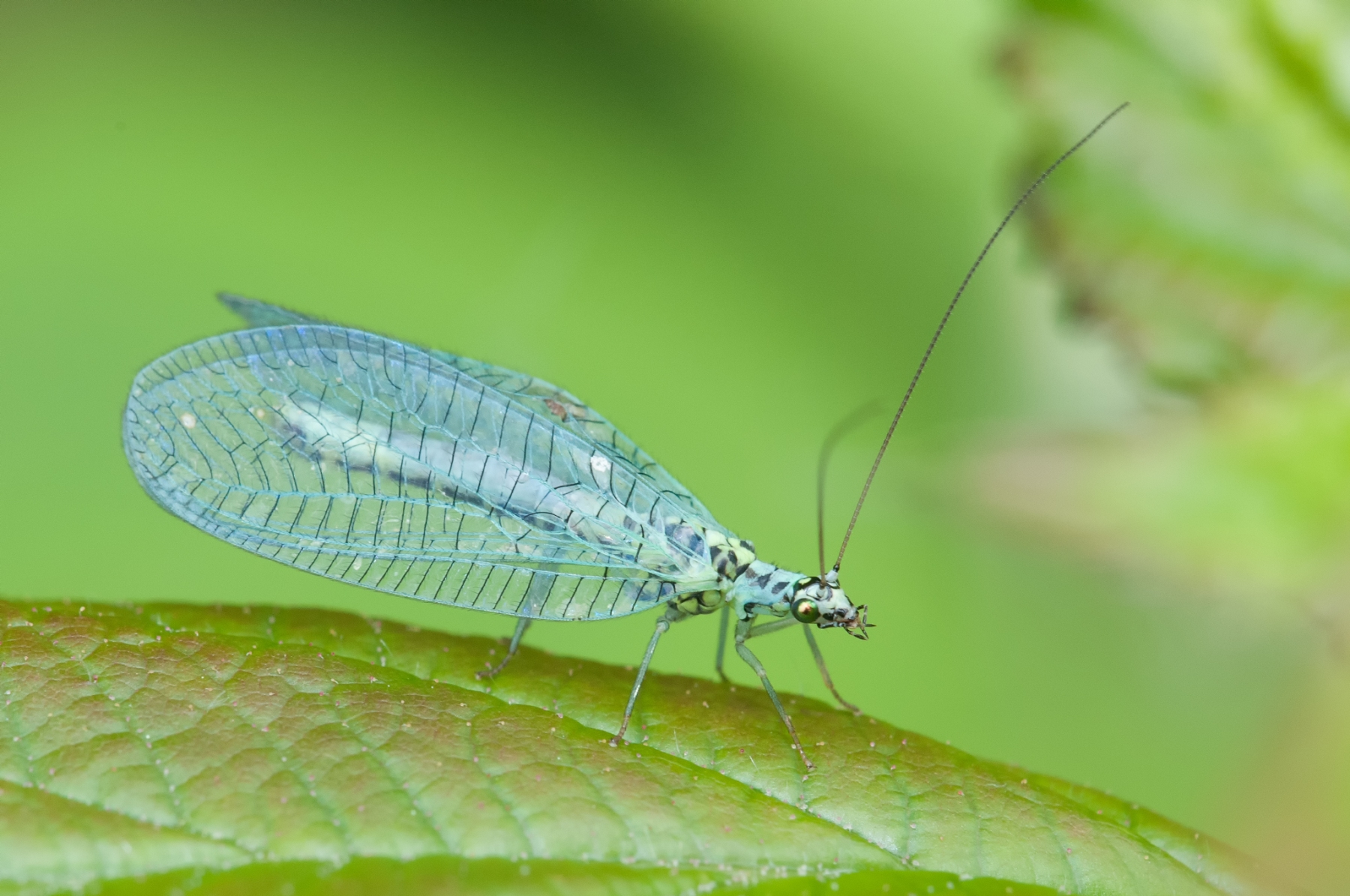 Chrysopa sp. - Green Lacewing, Lound