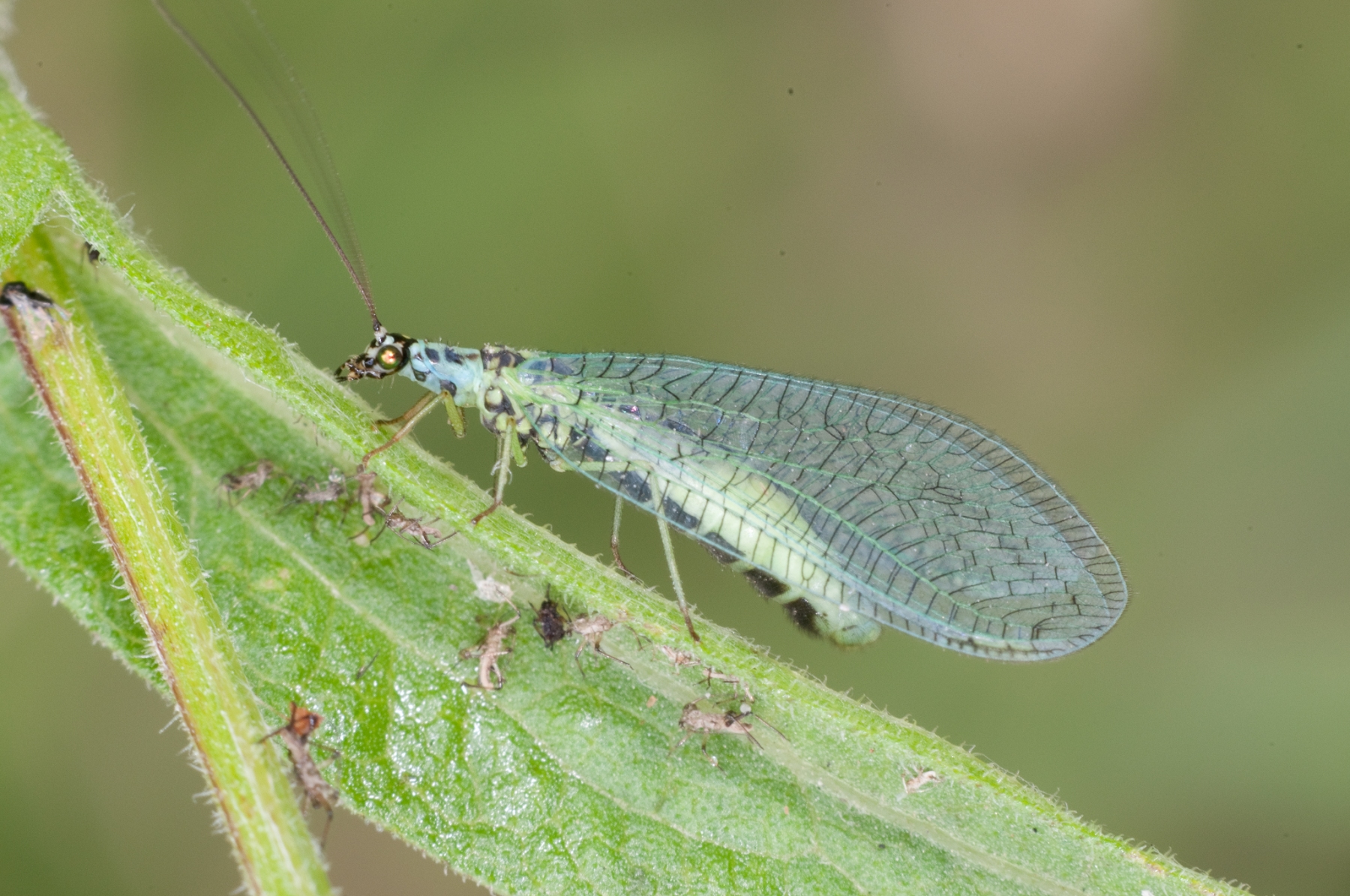 Chrysopa sp. - Green Lacewing, Dinnington Marsh