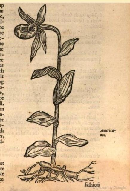 2 Gerard (1597)