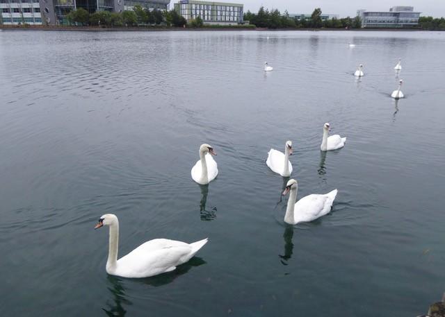 Swans at Lakeside