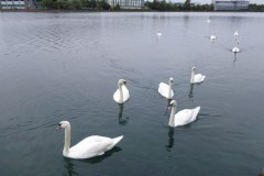 Swans at Lakeside