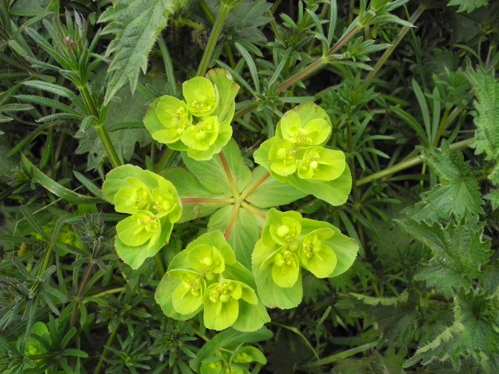 Sun-Spurge-Euphorbia-helioscopia