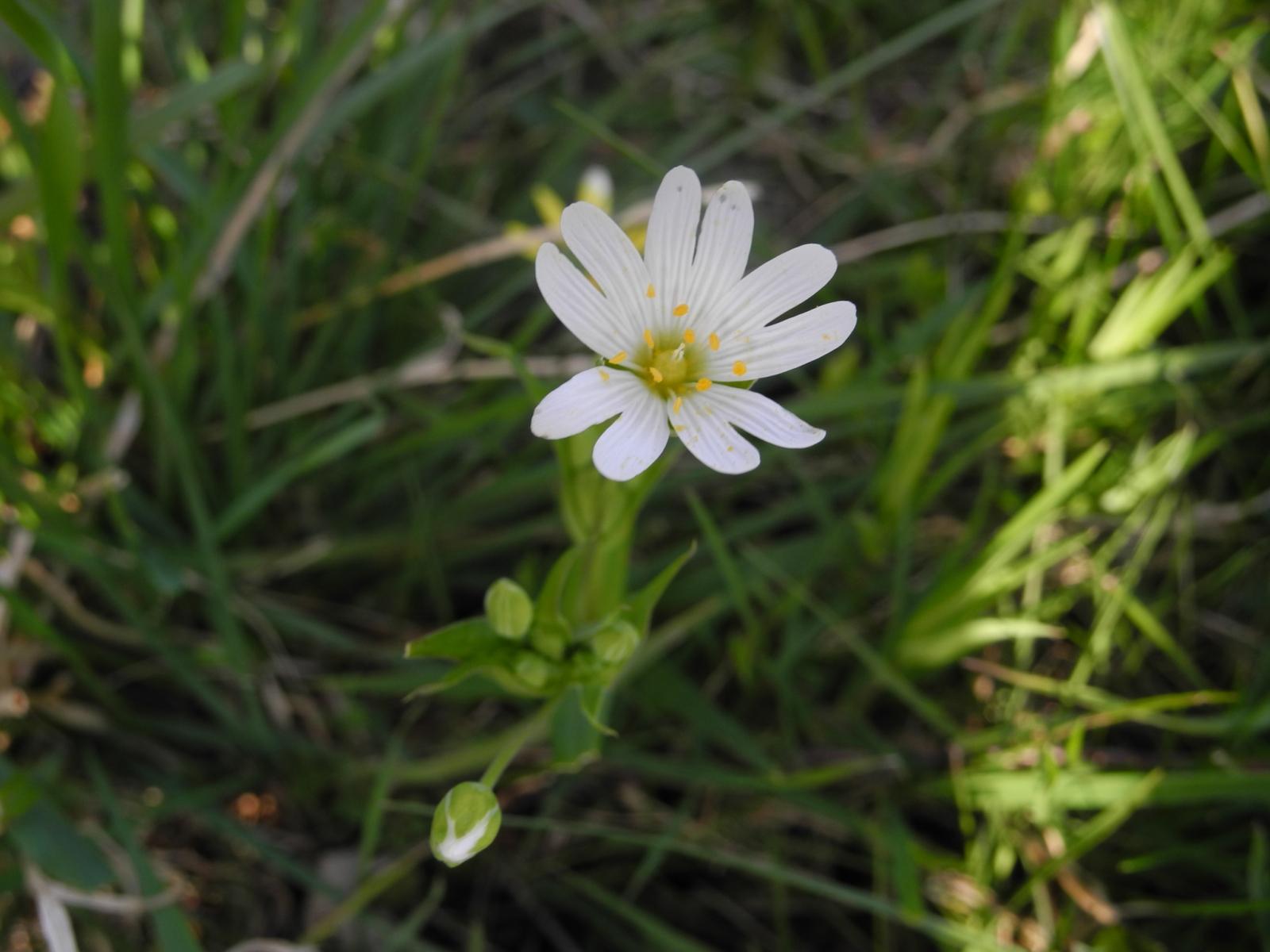 Greater Stitchwort - Stellaria holostea