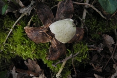 Collard Earthstar - Geastrum triplex