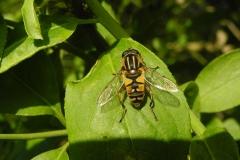 Hoverfly (Helophilus pendulus)