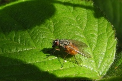 Houseflies (Phaonia subventa) - female
