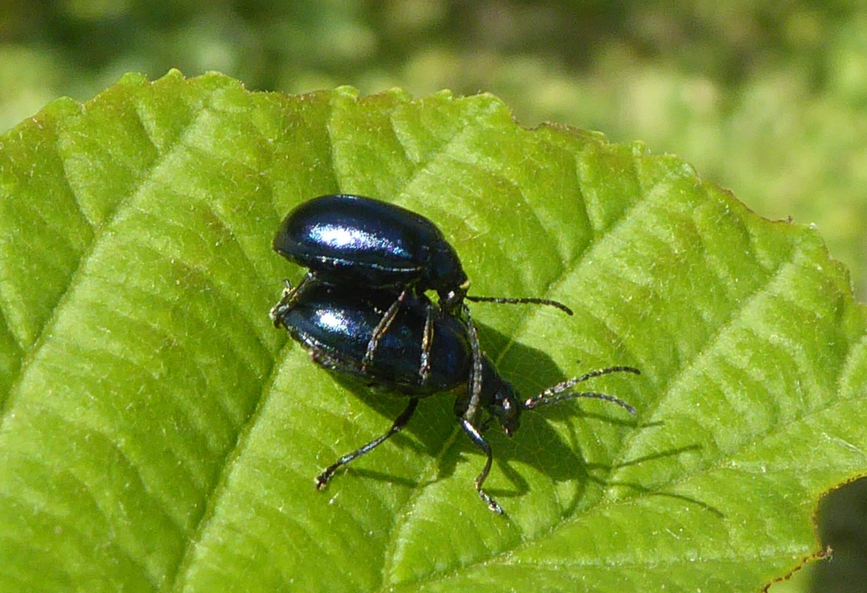 Agelastica alni - Alder Leaf Beetle