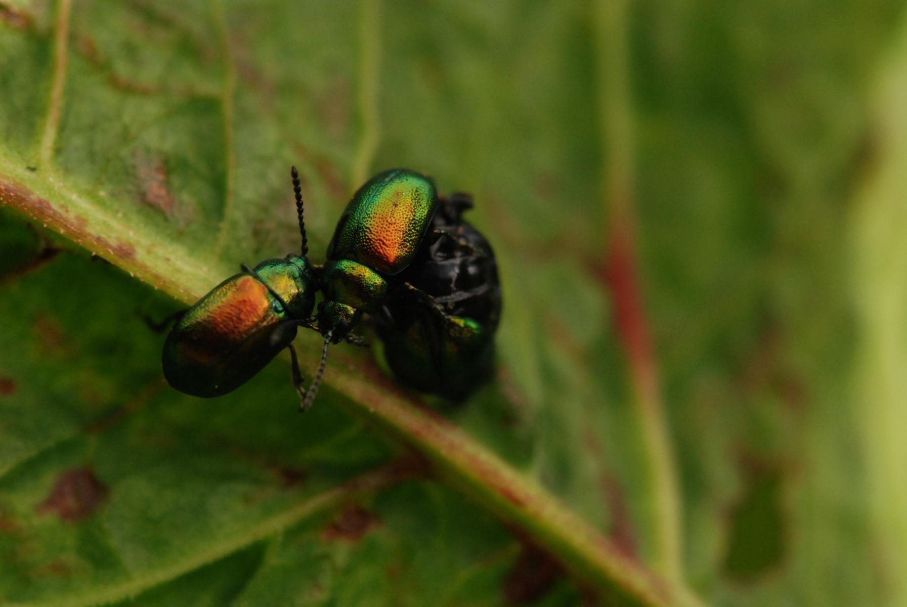 Gastrophysa viridula - Leaf Beetle