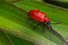 Lilioceris lilii - Lilly Beetle , Sherwood Forest