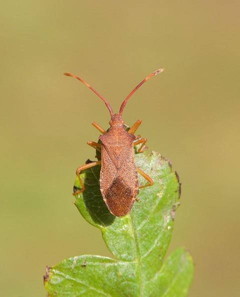 Gonocerus acuteangulatus - Box Bug, Woodside Nurseries, Austerfield