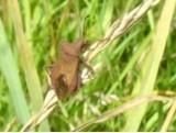 Coreus marginatus - Dock Bug, Cusworth Hall & Park