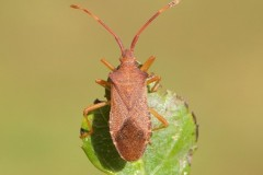 Gonocerus acuteangulatus - Box Bug, Woodside Nurseries, Austerfield