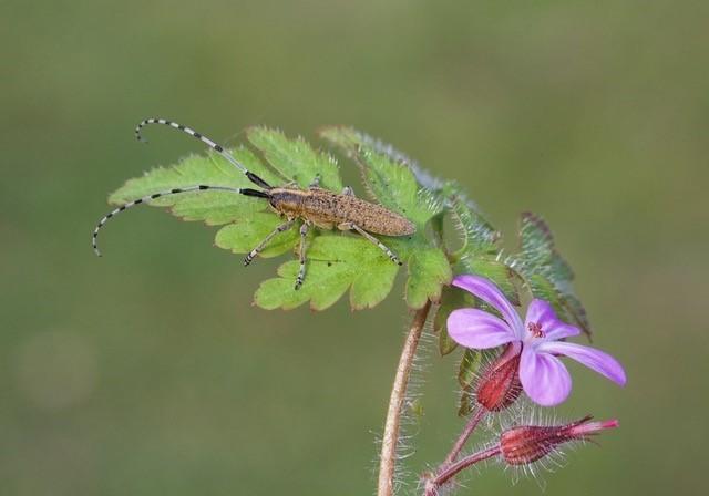 Agapanthia villosoviridescens, Woodside Nurseries Austerfield