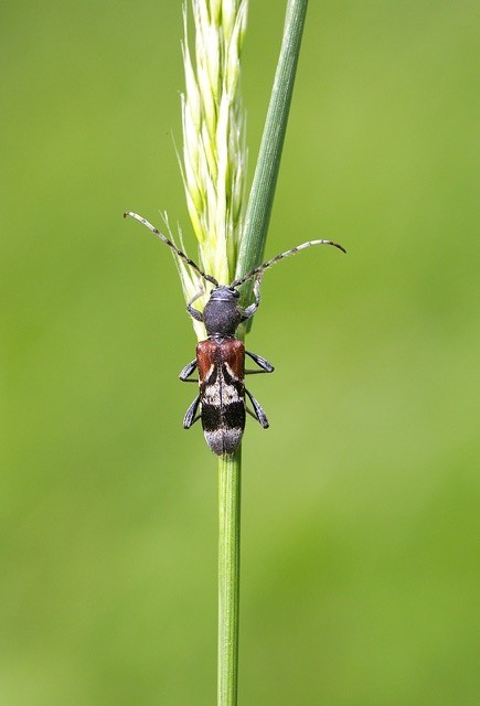 Anaglyptus mysticus - Rufous-shouldered Longhorn Beetle, Eaton Wood SSSI, Notts.