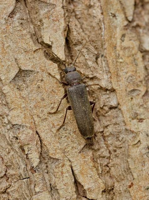 Arhopalus rusticus, Woodside Nurseries, Austerfield.