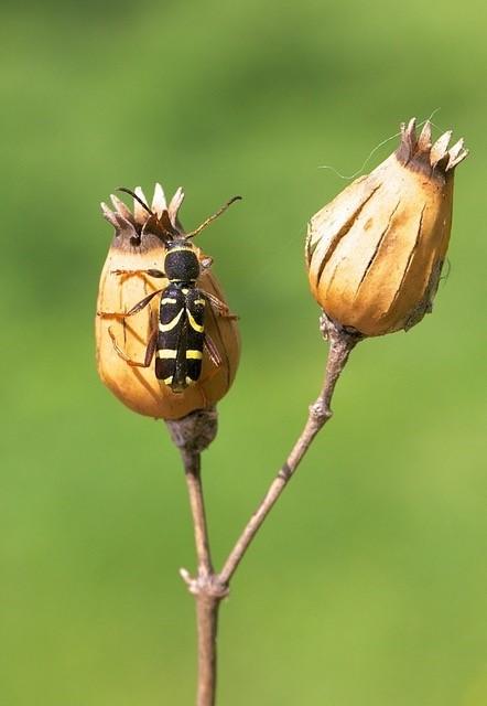 Clytus arietis - The Wasp-beetle, Woodside Nurseries, Austerfield.