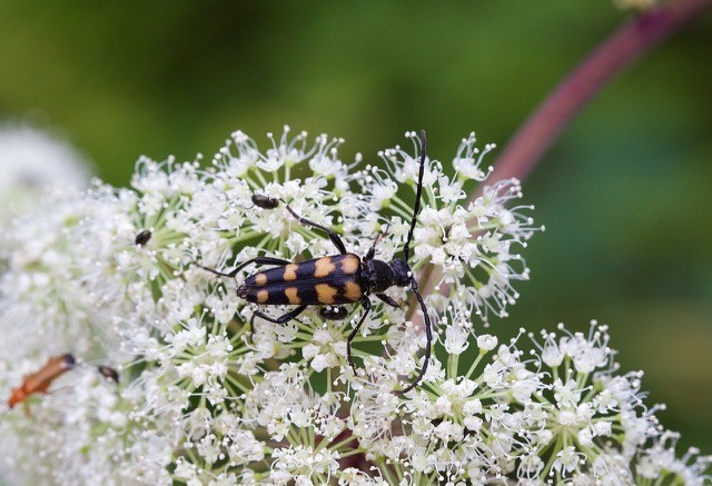 Leptura quadrifasciata, Eaton and Gamston Woods SSSI, Notts.