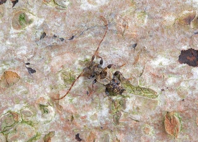 Pogonocherus hispidus, Woodside Nurseries, Austerfield.