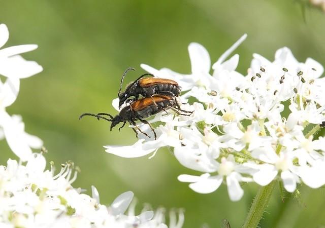 Pseudovadonia livida - Fairy-ring Longhorn, Woodside Nurseries, Austerfield