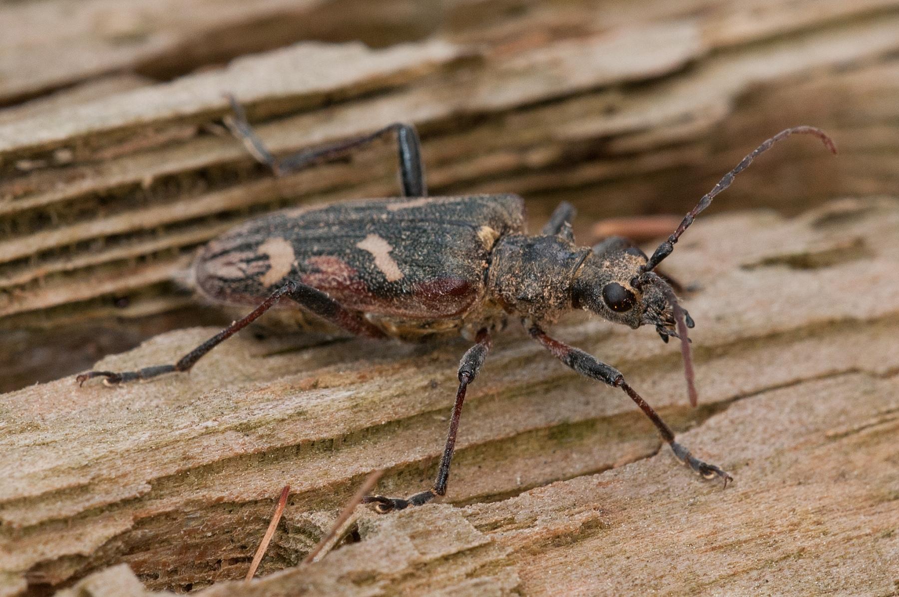 Rhagium bifasciatum - Two-banded Longhorn Beetle