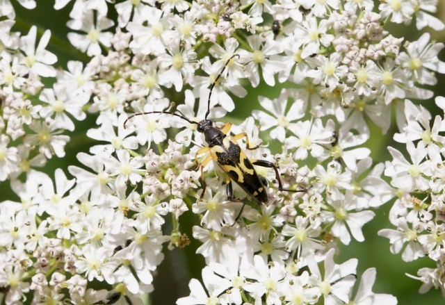 Rutpela maculata (different colour form), Sherwood Forest CP.