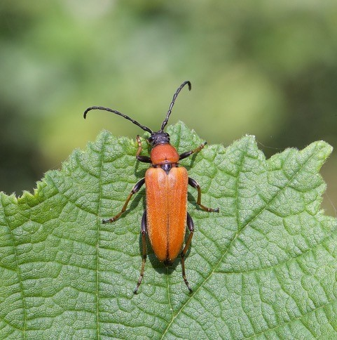 Stictoleptura rubra - Red Longhorn Beetle, Chambers Farm Wood, Lincs.