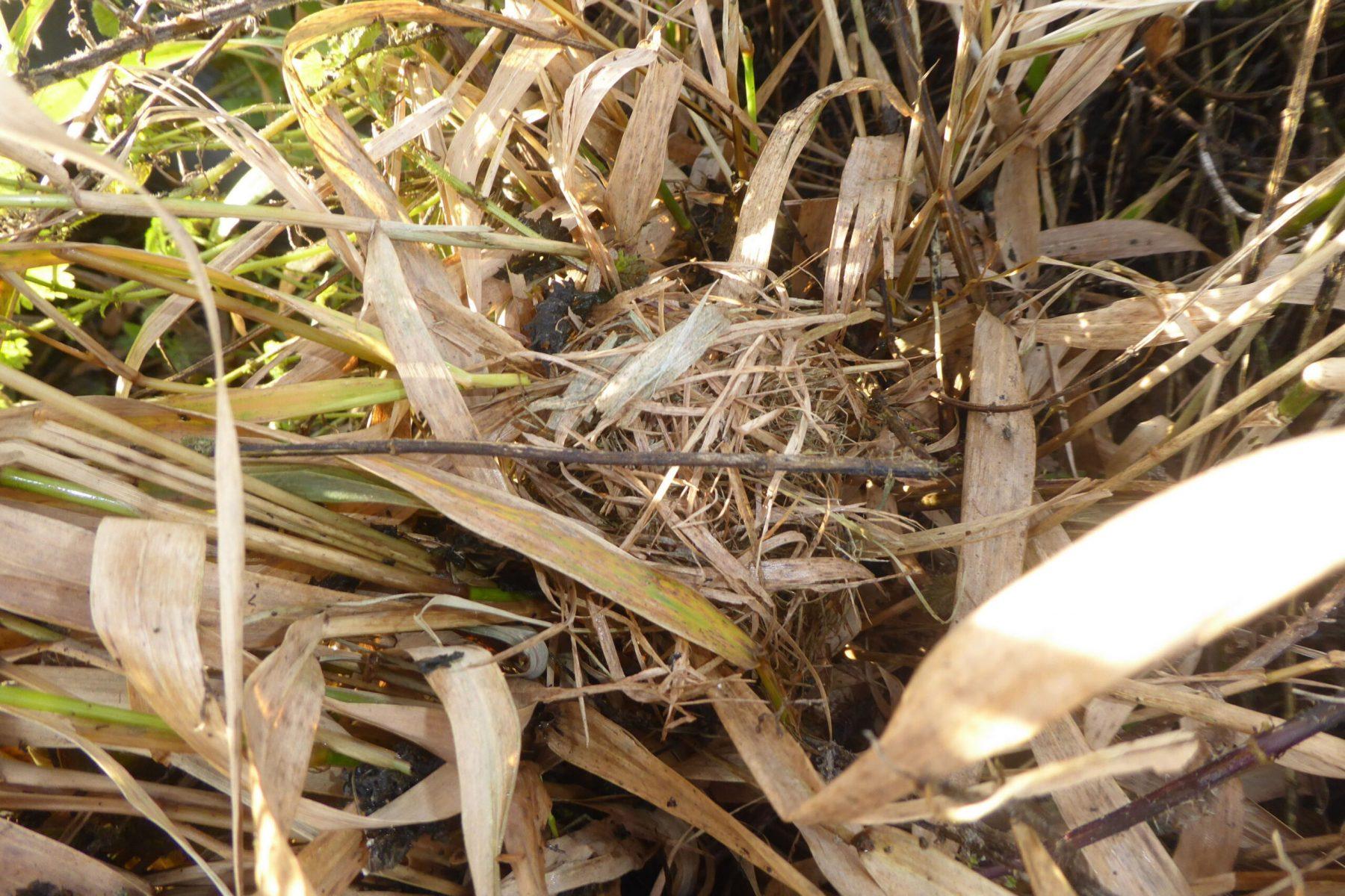 Harvest mouse (Micromys minutus), non-breeding nest,  Auckley