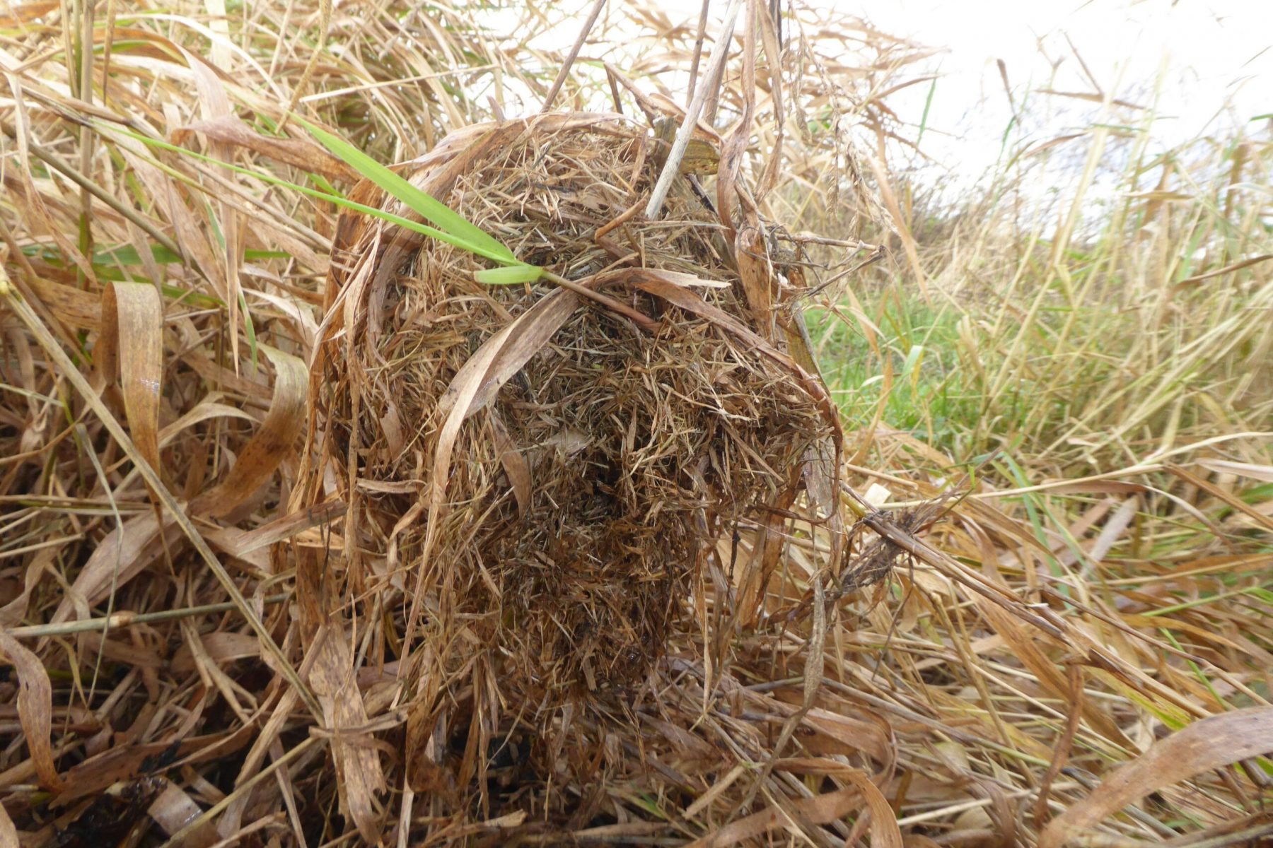 Harvest mouse (Micromys minutus), nursery nest,  Auckley