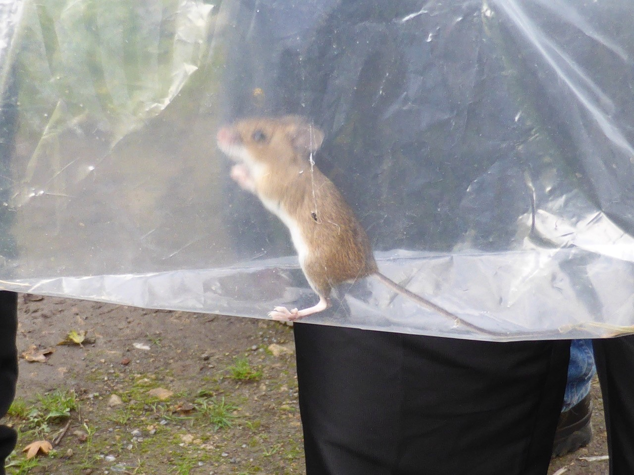 Wood Mouse (Apodemus sylvaticus), Old Moor.