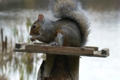 Grey Squirrel (Sciurus carolinensis), Potteric Carr.