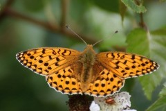 Dark-Green-Fritillary