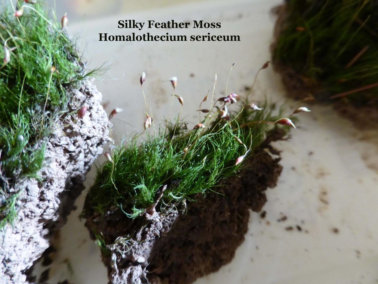 Silky Feather Moss (Homalothecium), Wentworth Garden Centre