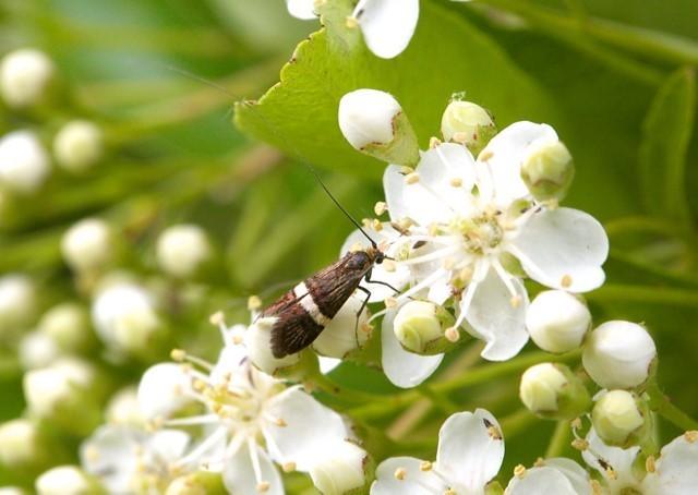 Adela croesella, Woodside Nurseries, Austerfield.
