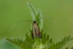 Cauchas rufimitrella, Woodside Nurseries, Austerfield.