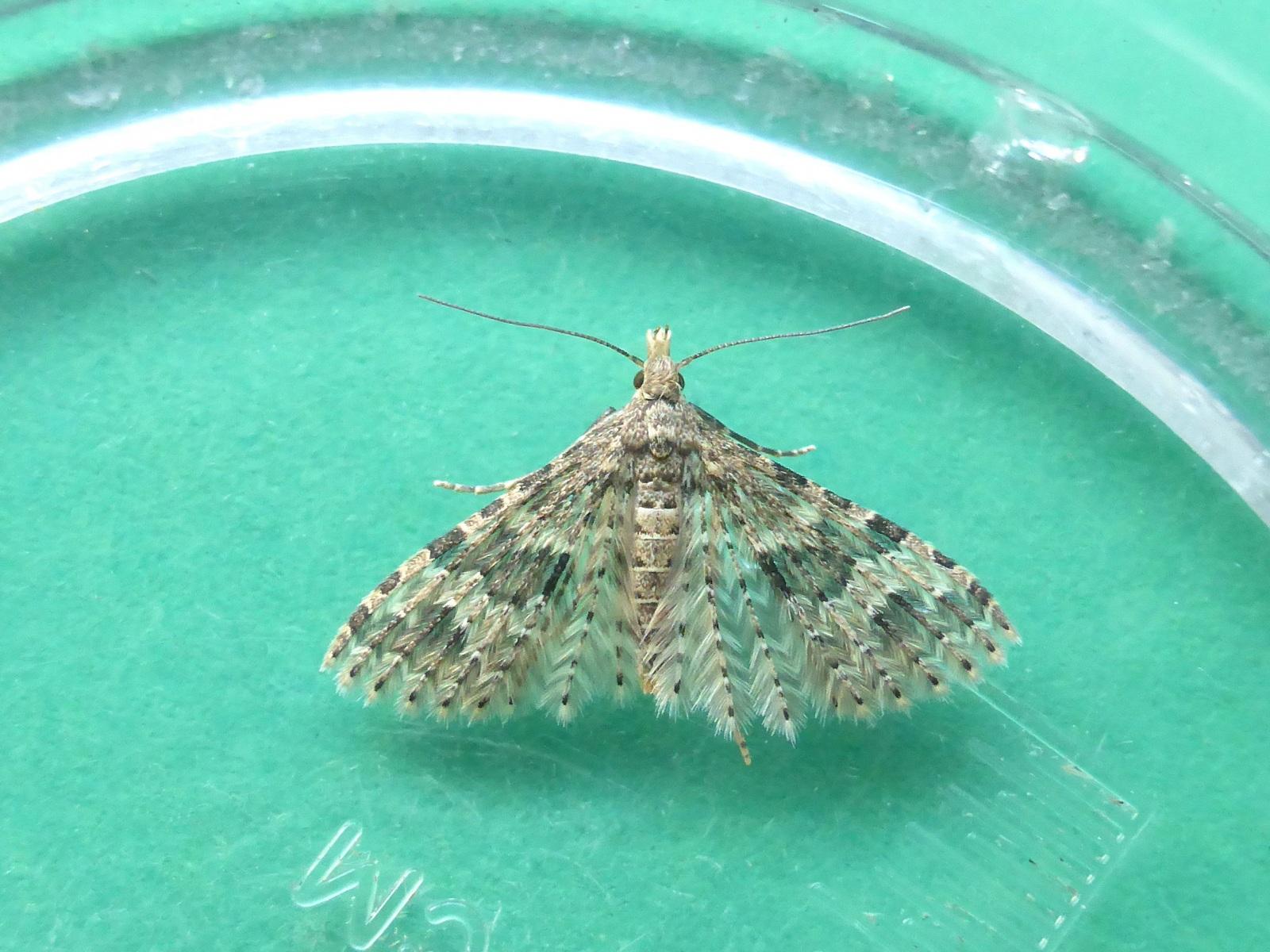 Alucita hexadactyla - Twenty-plume Moth - Kirk Smeaton