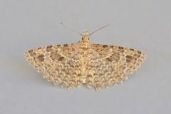 Alucita hexadactyla - Twenty-plume Moth, Woodside Nurseries, Austerfield.