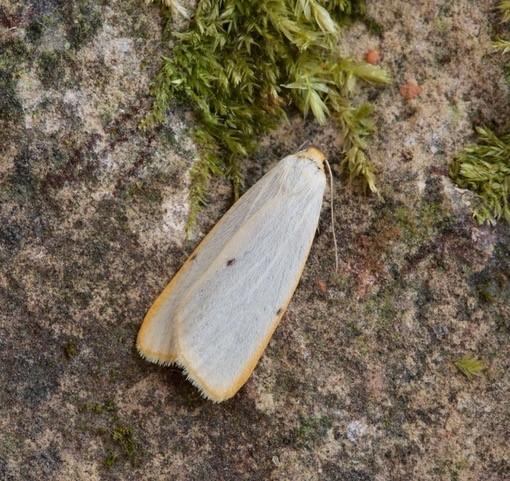 Cybosia mesomella - Four-dotted Footman, Woodside Nurseries, Austerfield.