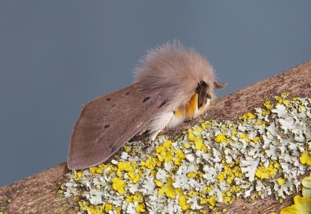 Diaphora mendica - Muslin Moth, Woodside Nurseries, Austerfield.