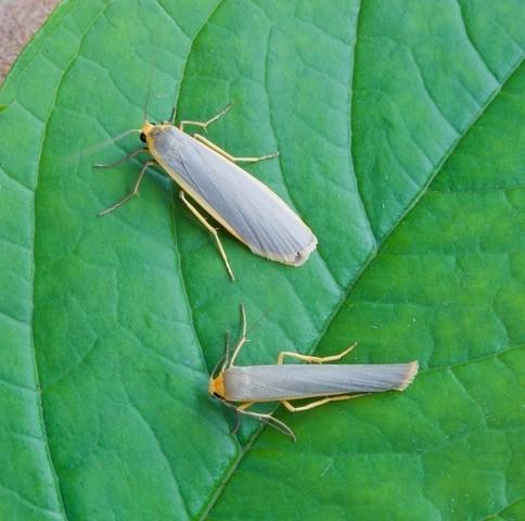 Eilema complana - Scarce Footman and Eilema lurideola - Common Footman comparison.