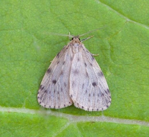 Thumatha senex - Round-winged Muslin, Woodside Nurseries, Austerfield.