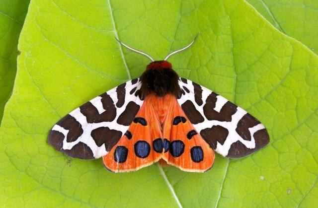 Arctia caja - Garden Tiger, Woodside Nurseries, Austerfield.