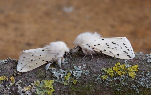 Spilosoma lubricipeda - White Ermine, Woodside Nurseries, Austerfield.