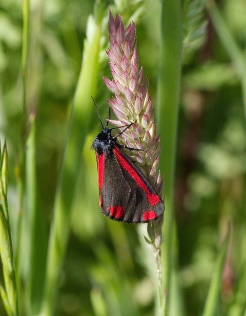 Tyria jacobaeae - Cinnabar, Woodside Nurseries, Austerfield.