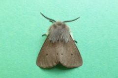 Diaphora mendica - Muslin Moth male - Kirk Smeaton