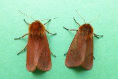 Phragmatobia fuliginosa - Ruby Tiger - Kirk Smeaton